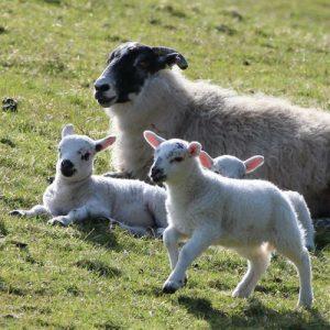 lambs on Ederline Estate, Argyll, Scotland