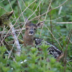Roe deer, Argyll, Scotland